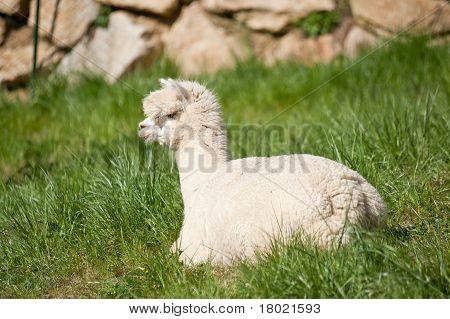 White Alpaka in the Grass
