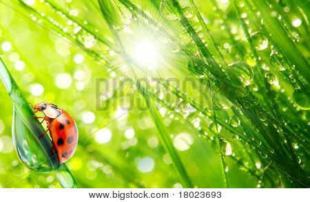 Ladybug running on a dewy grass. Sunny day concept.