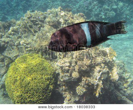 The Napoleonfish