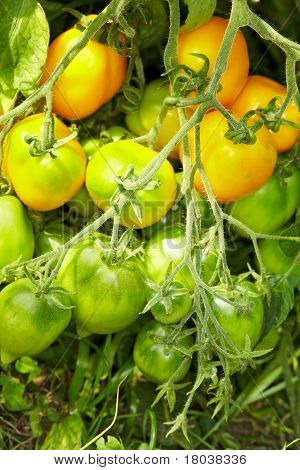 Tomato Bush With Breed Called Lemon Tree