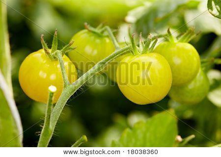 Rare Organic Tomatoes