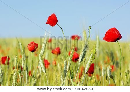 Red Poppies In Field .