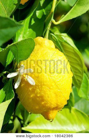 Yellow Lemon And Flower.