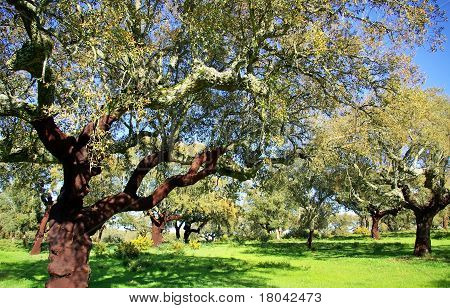 Oak Trees In Mediterranic Forest.
