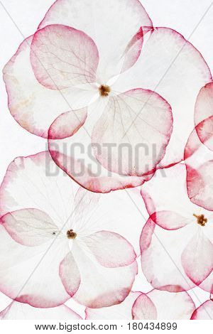 hydrangea petals isolated