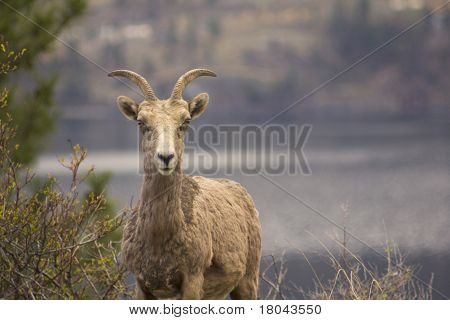 Landscape Photo Of Bighorn Sheep In Kelowna