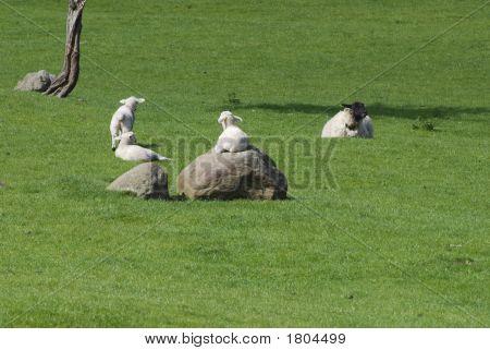 Sunbathing Lamb