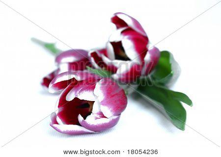 Drei bunte Rosa und weiße Tulpe auf weiß