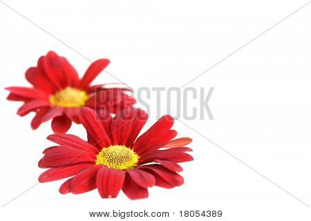 Background with two crysanthemum on white, room for text