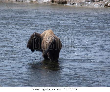 Buffalo In The Water