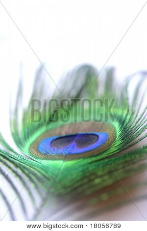 Closeup of a single peacock feather showing it's colourful brilliance. Narrow Depth of Field. With copyspace.