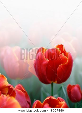 Beautiful field of single red tulips rendered with white background with copyspace.