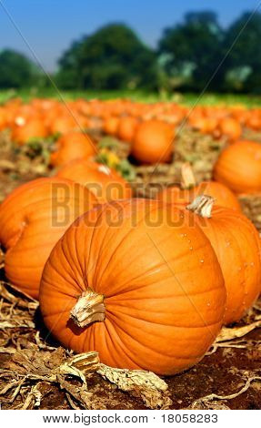 Pumpkins scattered all over the field ready for harvesting.