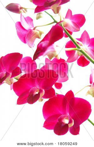 Closeup of magenta oriental orchids, isolated
