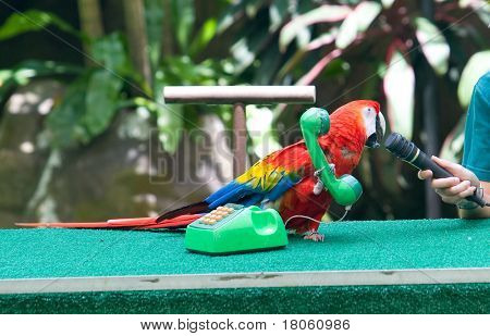 A scarlet macaw answering a toy phone and mimicking human greeting.