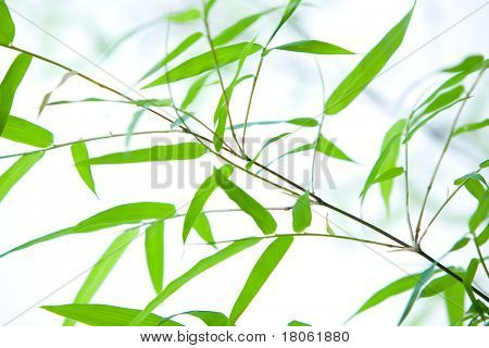 Miniature dwarf bamboo on thin branches