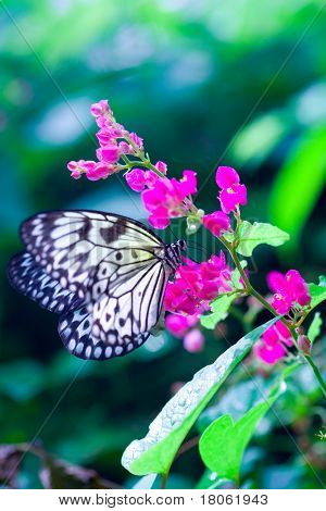 ''Idea leuconoe '' or commonly known as Paper Kite butterfly enjoying nectar from a brightly colored flower