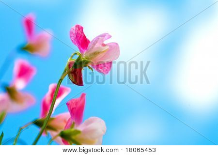 Beautiful pink sweet peas flowers against blue sky