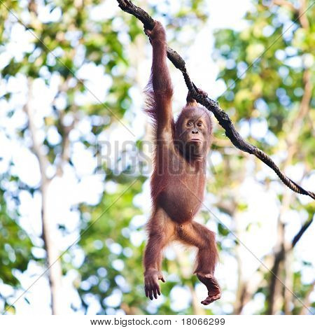 Young orangutan hanging on vine