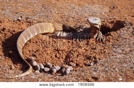 Australian Varanus