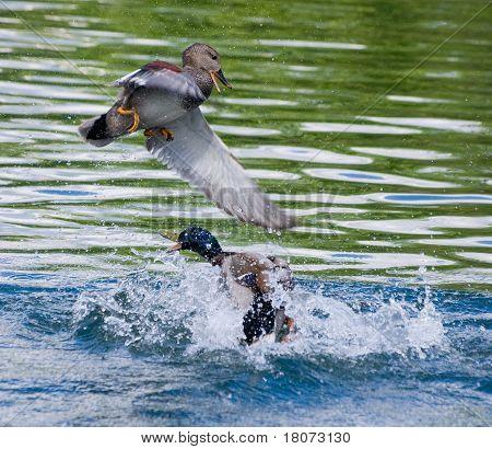 Gadwall and Mallard Duck fight