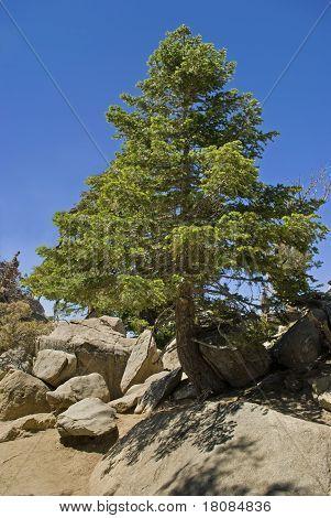 Pine Tree San Jacinto