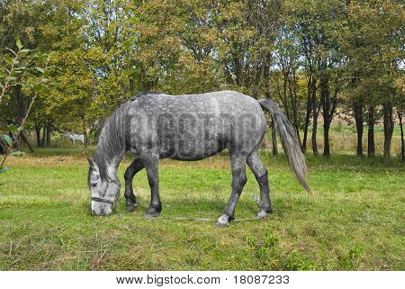 Grazing dappled mare