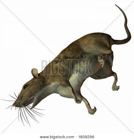 Rat Dead