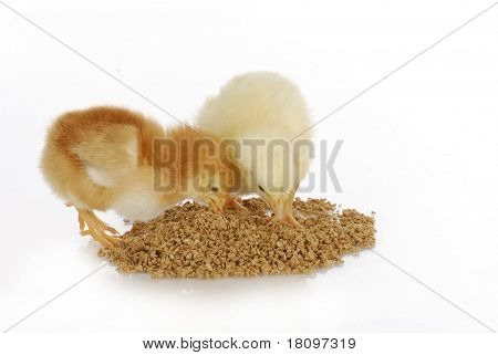 newborn chicks eating from pile of feed on white background