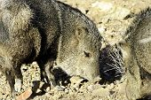stock photo of javelina  - Two javelina rooting in the desert floor - JPG