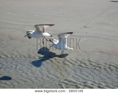 Seagulls Landing On The Beach