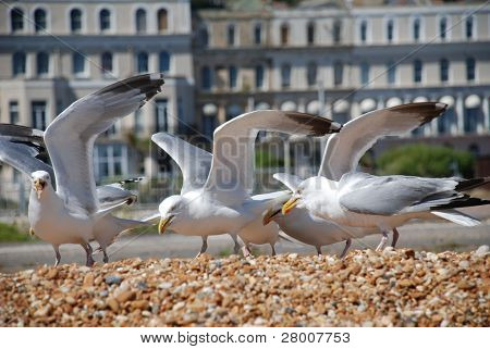 A flock of seagulls on the shingle beach at Folkestone in Kent, England.