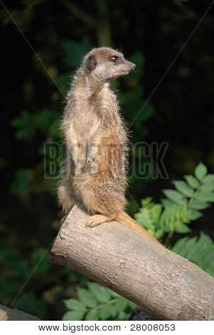 A meercat standing upright, keeping look out for the rest of the group.