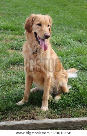 Golden Retriever posing in Grass