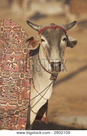 Well Groomed Indian Bullock