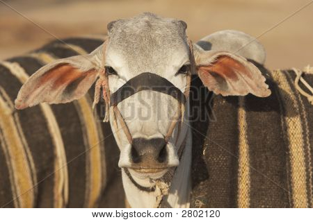 Bullock For Sale At An Indian Cattle Fair