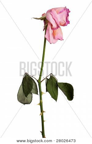 A Faded Pink Roses