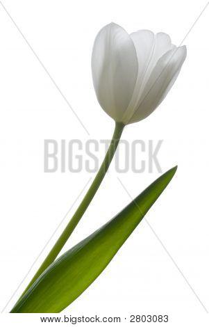 White Tulip.