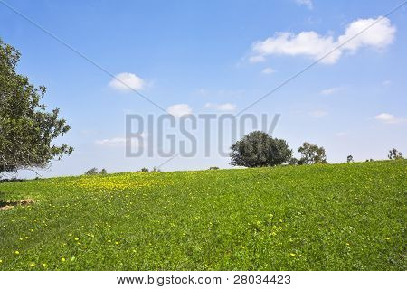 Midday on blossoming hills of hot coast of Mediterranean sea - a grass, chamomiles and trees