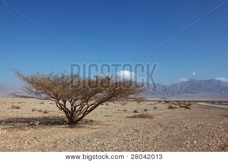 Lonely tree in stone desert with a typical triangular crone