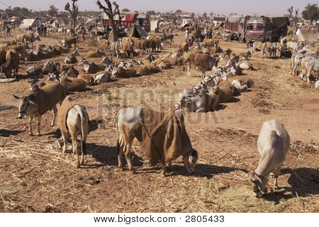 Indian Cattle Fair, Nagaur, Rajasthan