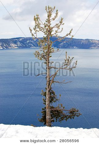tree on the edge of Crater Lake