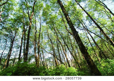 tree trunks and green leaf canopy