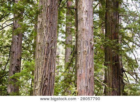 Grupo de troncos de árboles de secoya