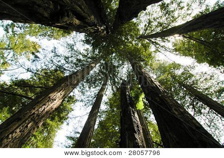 redwood tree trunks and green canopy