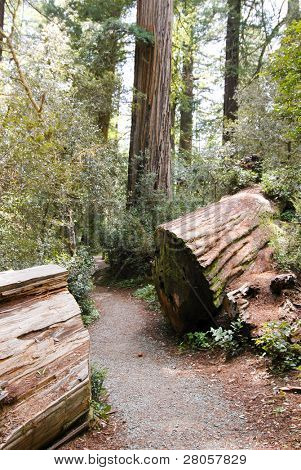 trail through a redwood stump