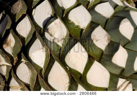 Agave Plant Used To Produce Tequila