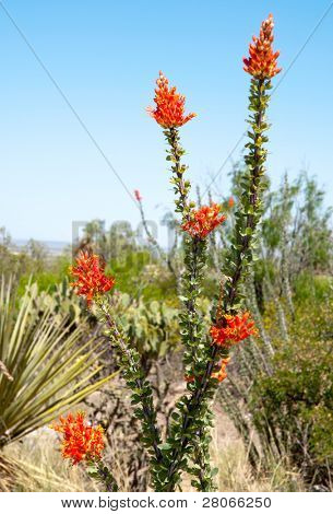blooming ocotillo cactus