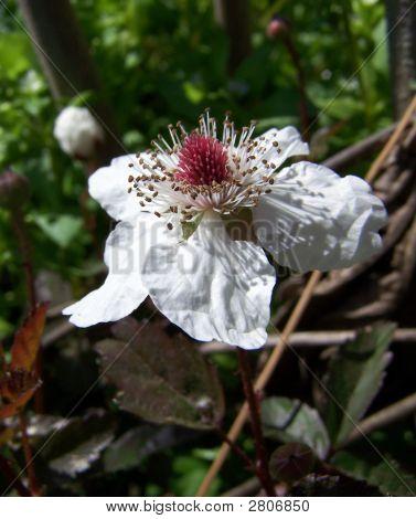 Briar Bloom