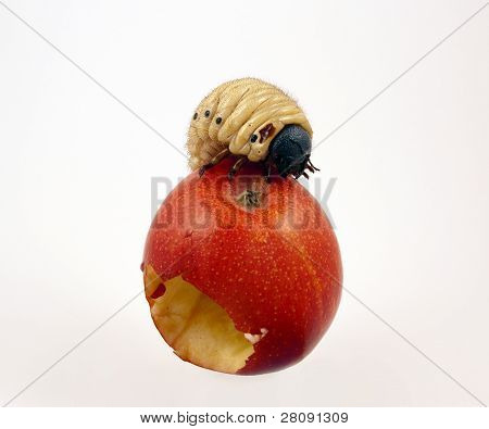 Giant worm in fruit